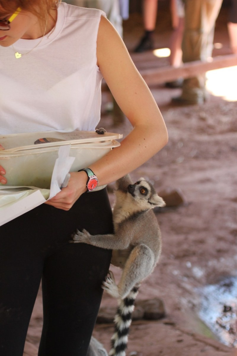 A visitor getting ready to feed a lemur at Cumbria Zoo