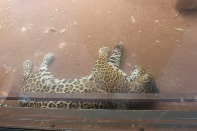 A jaguar inside an enclosure at A parrot losing its feathers at South Lakes Safari Zoo