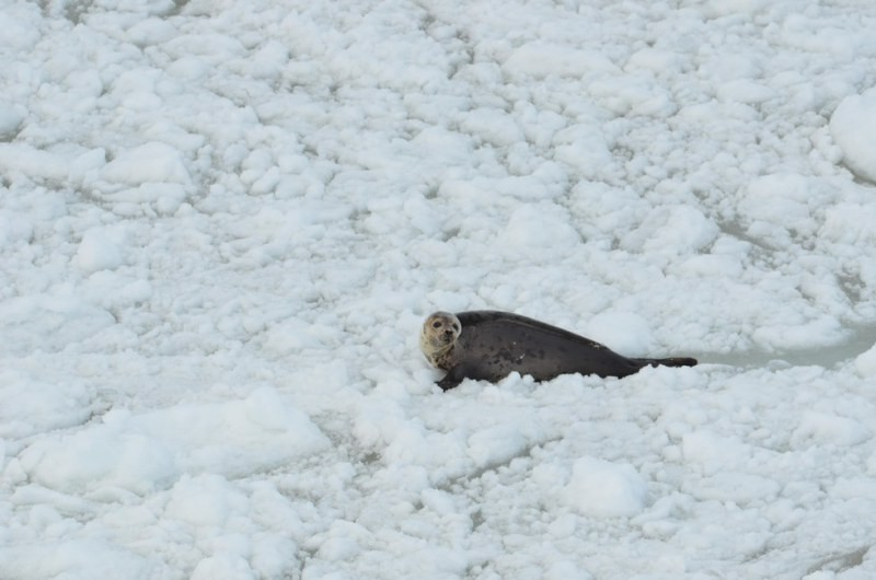 Hunters Are About To Kill Thousands Of Baby Seals