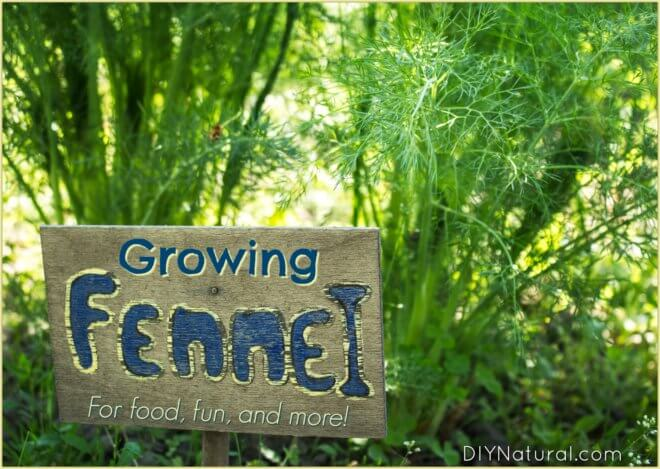 Learn to Grow Fennel for Food, Health, and Pleasure