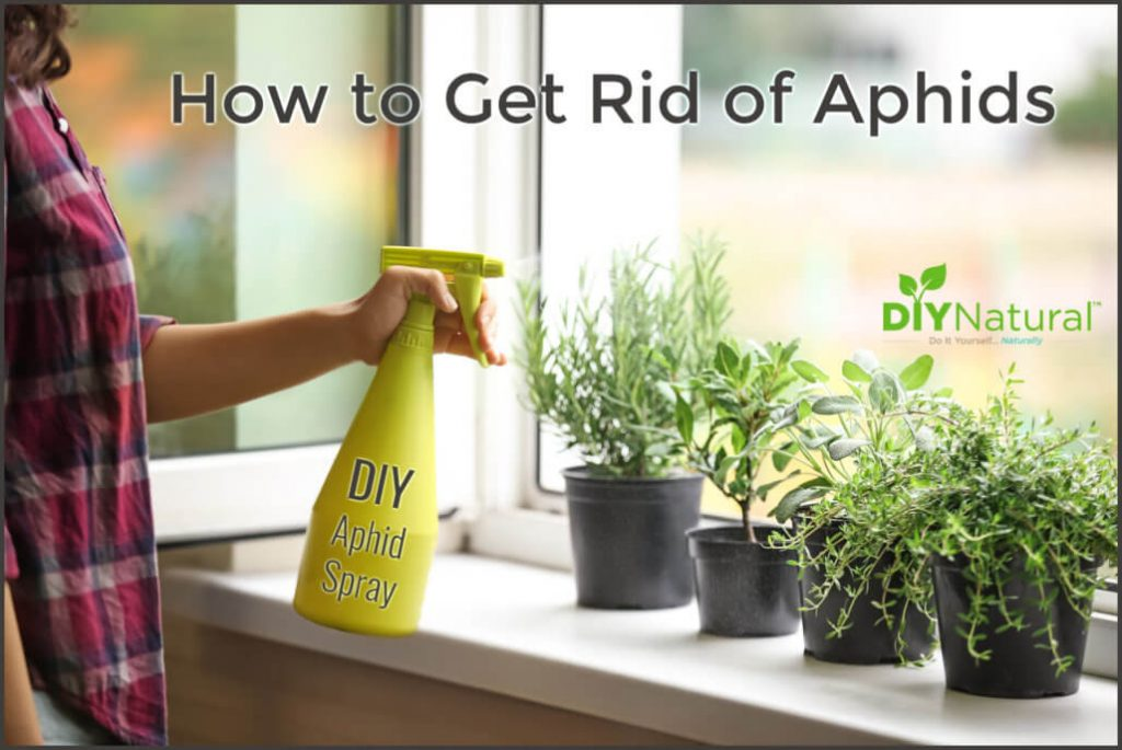 Get Rid of Aphids Naturally With A DIY Aphid Spray