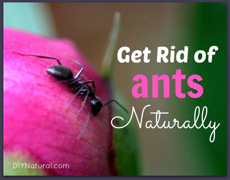 Get Rid of House Ants and Carpenter Ants Naturally