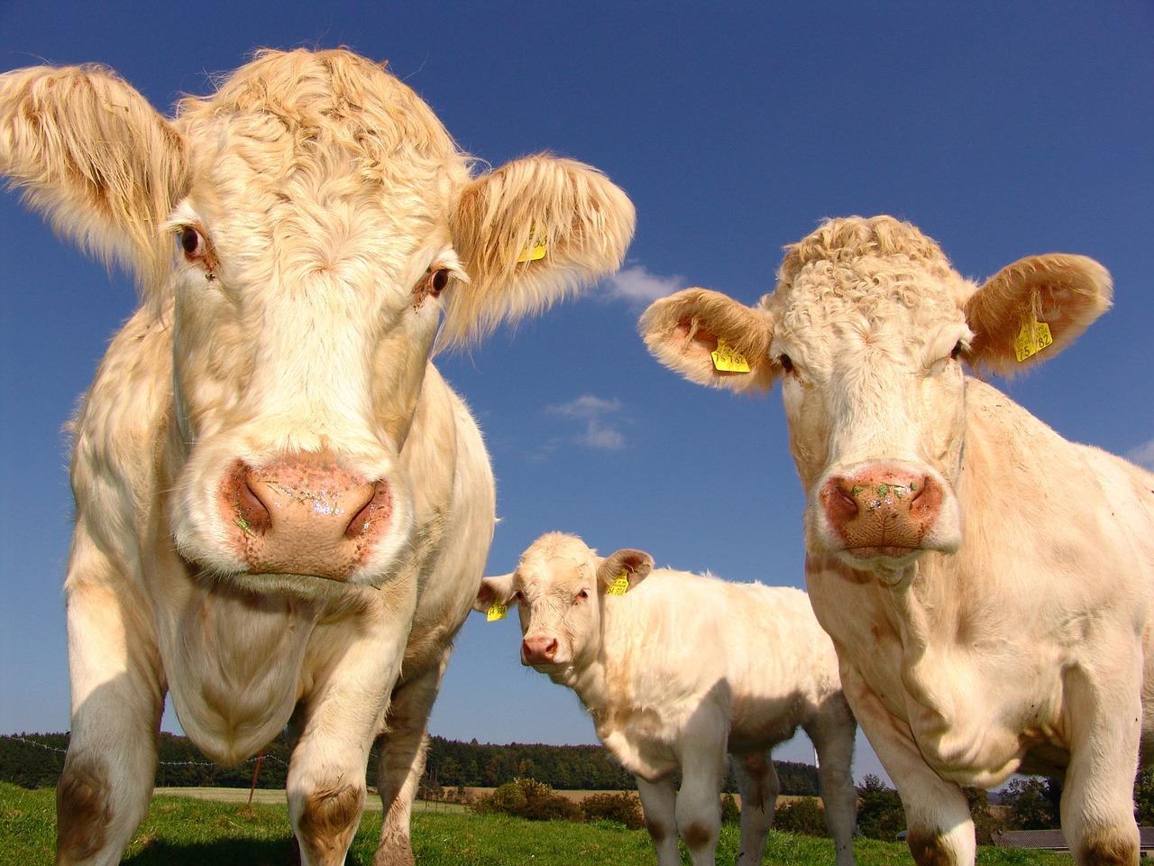 Cows looking at the camera