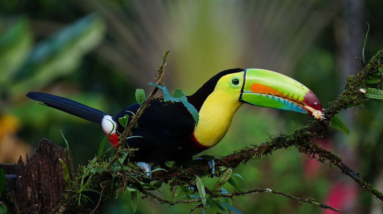 A beautiful and colourful Toucan sat in the rainforest
