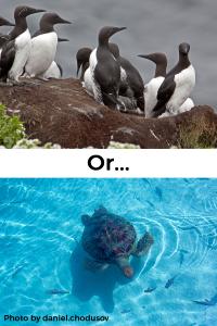 UK Guillemots vs Exotic Sea Turtles