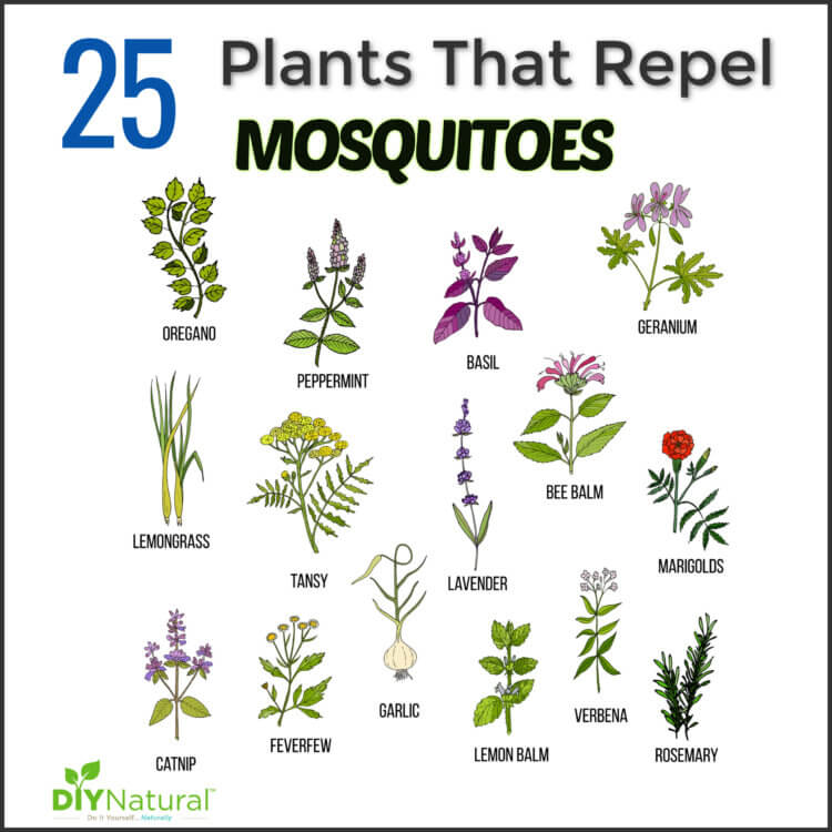 A Comprehensive List of Mosquito Repellent Plants